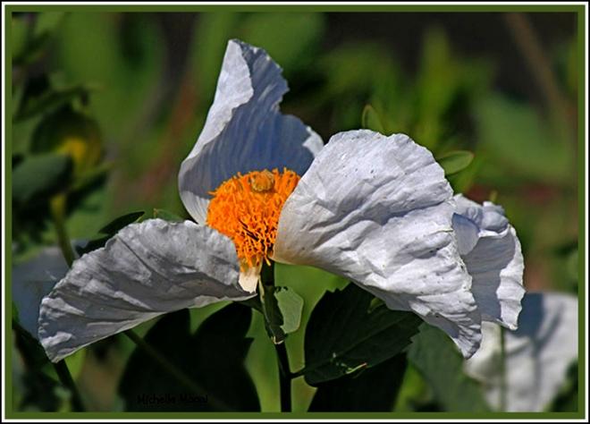 droh_white_flowerF6W120