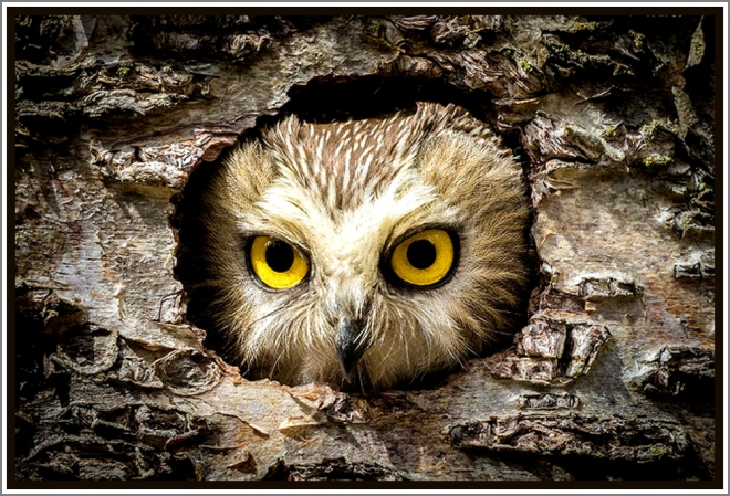 sierra club daily ray of hope 6/28/16 northern saw-whet owl kenai peninsula, alaska photo by andrew renkert